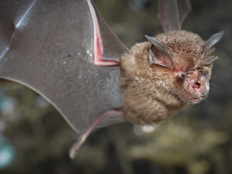 Intermediate Horseshoe Bat (Rhinolophus affinis),that live in caves Is a nocturnal animal Foul and dirty.